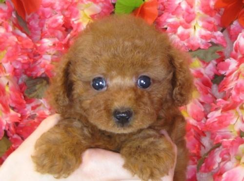 トイプードルの子犬(ID:1249511854)の2枚目の写真/更新日:2017-08-28