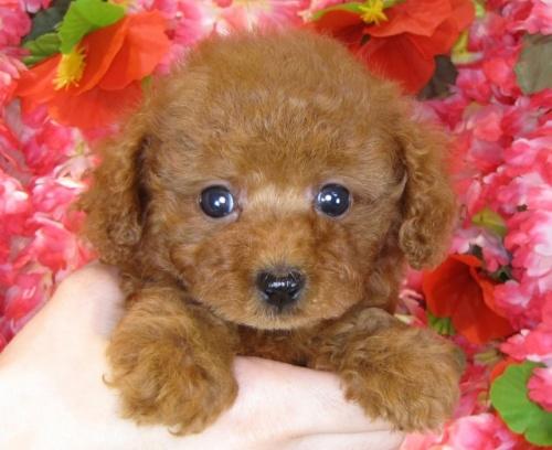 トイプードルの子犬(ID:1249511854)の3枚目の写真/更新日:2017-08-28