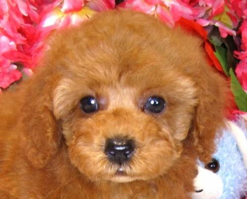 トイプードルの子犬(ID:1249511855)の1枚目の写真/更新日:2017-09-01