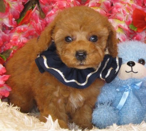 トイプードルの子犬(ID:1249511855)の3枚目の写真/更新日:2017-09-01