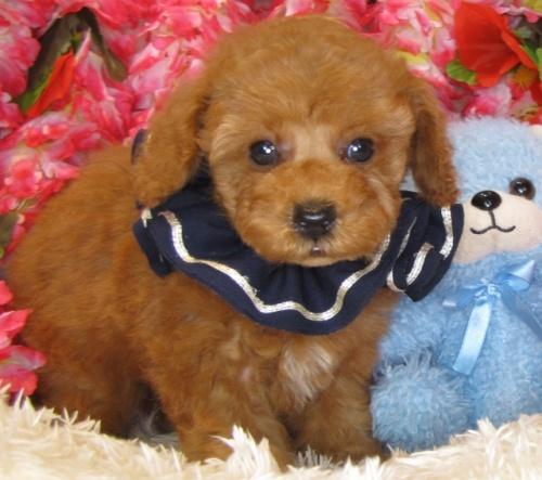 トイプードルの子犬(ID:1249511855)の4枚目の写真/更新日:2017-09-01