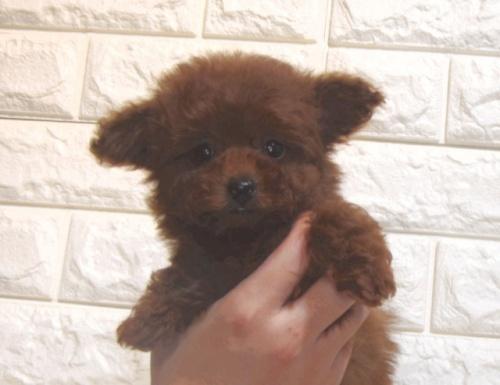 トイプードルの子犬(ID:1249511857)の1枚目の写真/更新日:2017-09-01