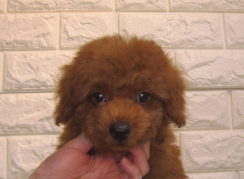トイプードルの子犬(ID:1249511857)の2枚目の写真/更新日:2017-09-01