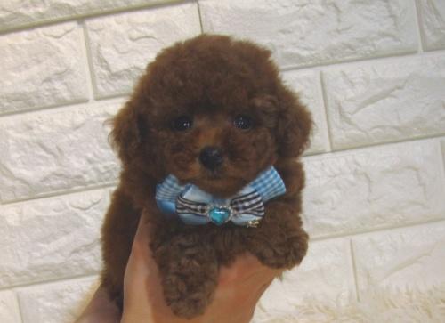 トイプードルの子犬(ID:1249511858)の1枚目の写真/更新日:2017-09-01