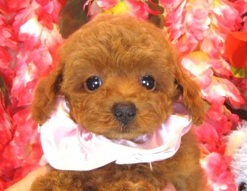トイプードルの子犬(ID:1249511860)の1枚目の写真/更新日:2017-09-12