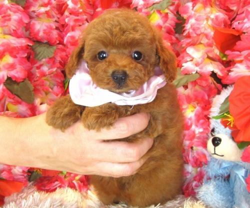 トイプードルの子犬(ID:1249511860)の2枚目の写真/更新日:2017-09-12