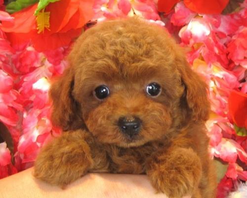トイプードルの子犬(ID:1249511860)の4枚目の写真/更新日:2017-09-12