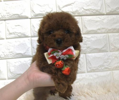 トイプードルの子犬(ID:1249511861)の1枚目の写真/更新日:2017-09-12