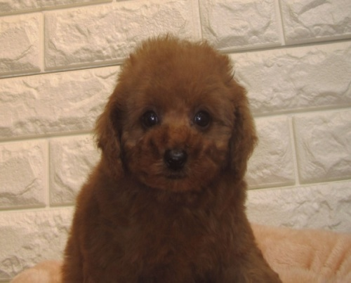 トイプードルの子犬(ID:1249511861)の2枚目の写真/更新日:2017-09-12