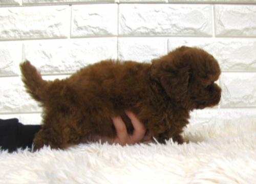 トイプードルの子犬(ID:1249511861)の3枚目の写真/更新日:2017-09-12