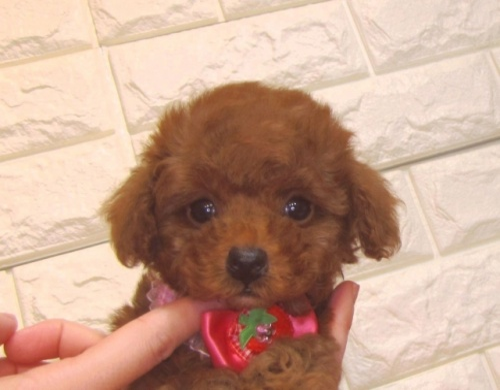トイプードルの子犬(ID:1249511862)の1枚目の写真/更新日:2021-04-01