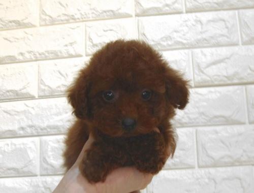 トイプードルの子犬(ID:1249511862)の2枚目の写真/更新日:2017-09-21