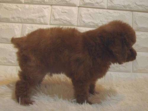 トイプードルの子犬(ID:1249511863)の3枚目の写真/更新日:2017-09-21