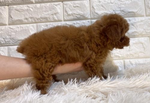 トイプードルの子犬(ID:1249511866)の3枚目の写真/更新日:2021-10-04