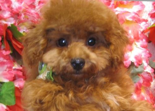 トイプードルの子犬(ID:1249511870)の1枚目の写真/更新日:2017-10-02
