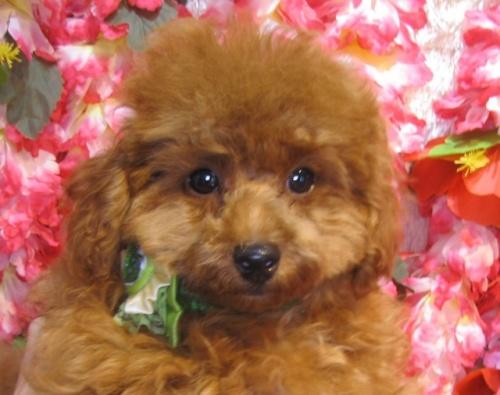 トイプードルの子犬(ID:1249511870)の2枚目の写真/更新日:2017-10-02