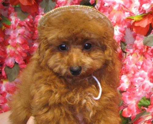 トイプードルの子犬(ID:1249511870)の4枚目の写真/更新日:2017-10-02