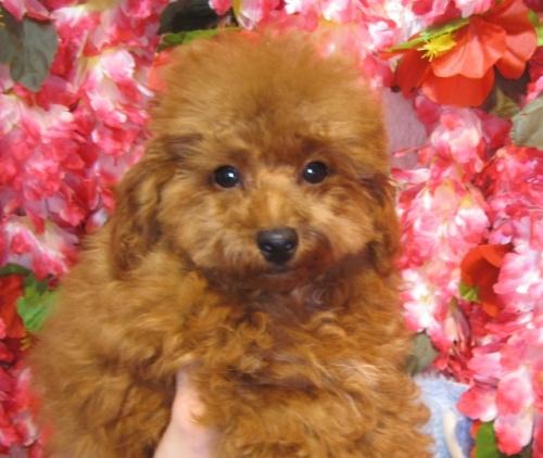 トイプードルの子犬(ID:1249511870)の5枚目の写真/更新日:2017-10-02