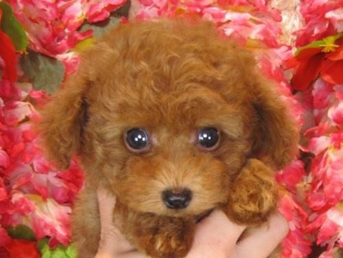 トイプードルの子犬(ID:1249511871)の1枚目の写真/更新日:2017-10-06