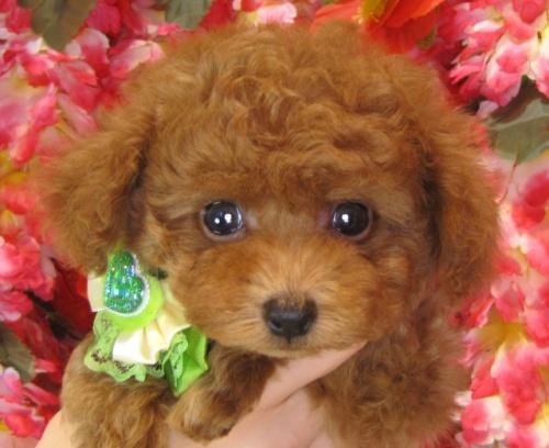 トイプードルの子犬(ID:1249511871)の2枚目の写真/更新日:2017-10-06
