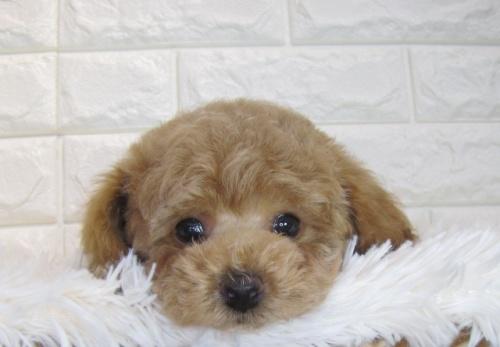 トイプードルの子犬(ID:1249511872)の1枚目の写真/更新日:2018-12-17