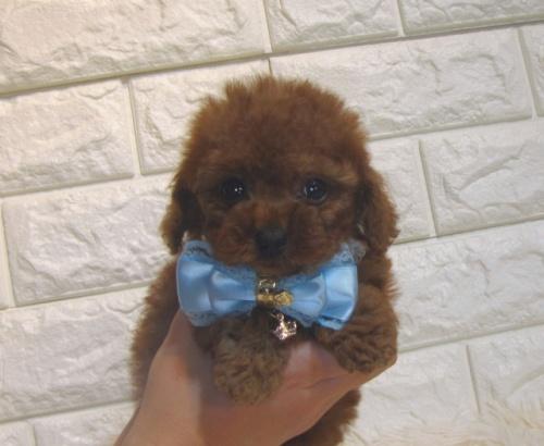 トイプードルの子犬(ID:1249511875)の1枚目の写真/更新日:2018-08-03