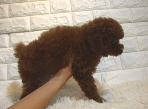 トイプードルの子犬(ID:1249511876)の3枚目の写真/更新日:2017-10-11