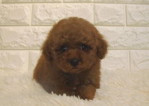 トイプードルの子犬(ID:1249511877)の2枚目の写真/更新日:2018-08-03