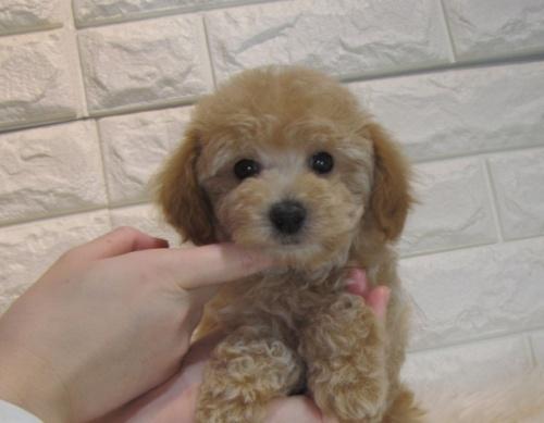 トイプードルの子犬(ID:1249511879)の2枚目の写真/更新日:2021-04-19
