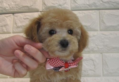 トイプードルの子犬(ID:1249511879)の2枚目の写真/更新日:2018-07-05