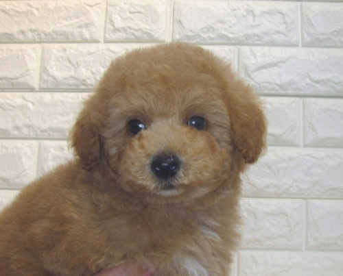 トイプードルの子犬(ID:1249511880)の1枚目の写真/更新日:2017-10-24