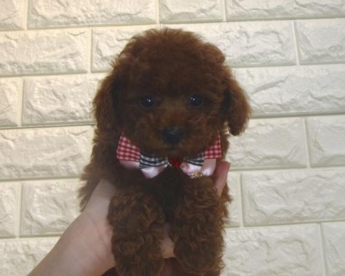 トイプードルの子犬(ID:1249511882)の1枚目の写真/更新日:2018-07-11