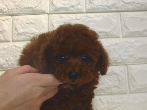 トイプードルの子犬(ID:1249511882)の2枚目の写真/更新日:2019-11-06