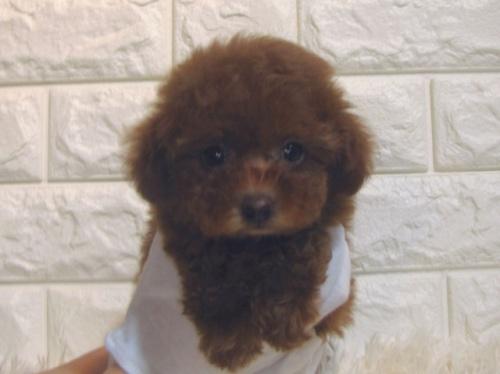 トイプードルの子犬(ID:1249511888)の1枚目の写真/更新日:2017-12-05