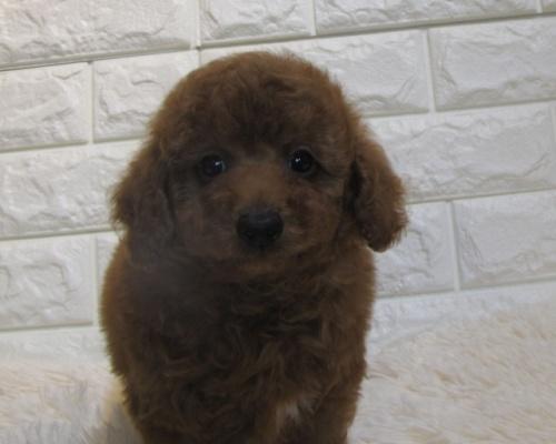 トイプードルの子犬(ID:1249511889)の1枚目の写真/更新日:2020-09-14