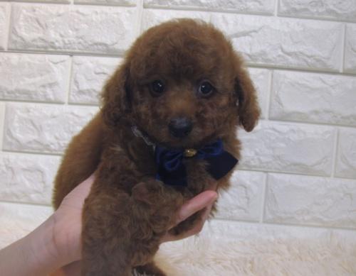 トイプードルの子犬(ID:1249511889)の2枚目の写真/更新日:2019-01-25