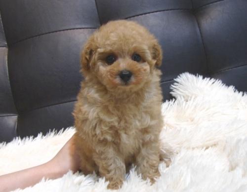 トイプードルの子犬(ID:1249511890)の3枚目の写真/更新日:2018-07-02