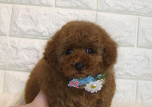 トイプードルの子犬(ID:1249511891)の2枚目の写真/更新日:2019-10-15
