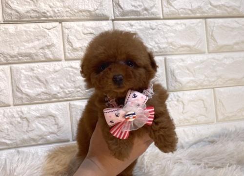 トイプードルの子犬(ID:1249511892)の1枚目の写真/更新日:2018-08-06