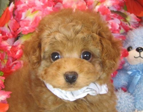 トイプードルの子犬(ID:1249511893)の1枚目の写真/更新日:2017-12-09