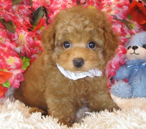 トイプードルの子犬(ID:1249511893)の2枚目の写真/更新日:2017-12-09