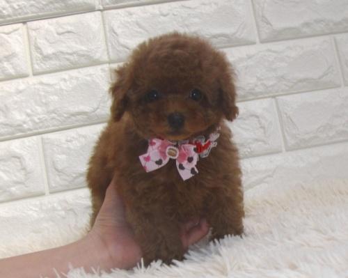 トイプードルの子犬(ID:1249511894)の2枚目の写真/更新日:2017-12-09
