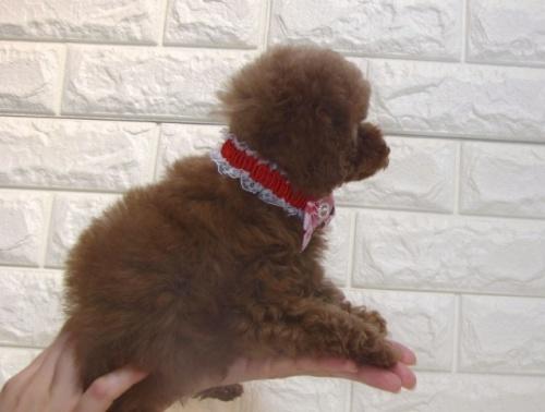 トイプードルの子犬(ID:1249511894)の3枚目の写真/更新日:2018-07-02