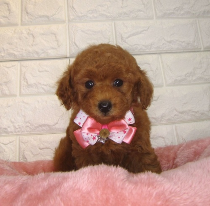 トイプードルの子犬(ID:1249511896)の1枚目の写真/更新日:2020-03-04
