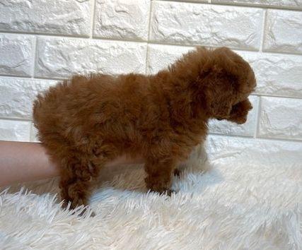 トイプードルの子犬(ID:1249511896)の3枚目の写真/更新日:2021-05-01