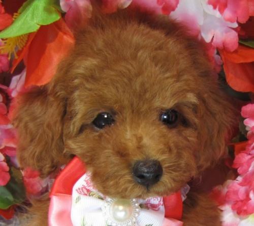 トイプードルの子犬(ID:1249511898)の1枚目の写真/更新日:2019-04-18