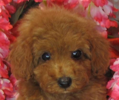 トイプードルの子犬(ID:1249511898)の2枚目の写真/更新日:2019-04-18
