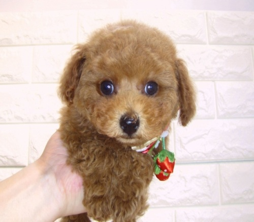 トイプードルの子犬(ID:1249511902)の1枚目の写真/更新日:2018-01-03