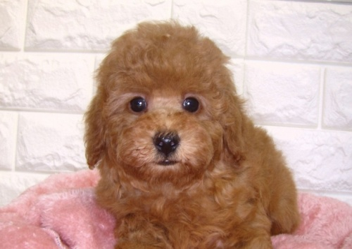 トイプードルの子犬(ID:1249511907)の1枚目の写真/更新日:2019-10-28