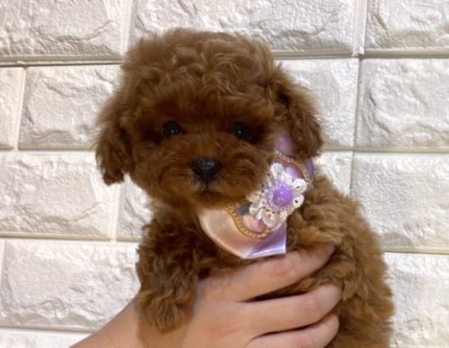 トイプードルの子犬(ID:1249511907)の2枚目の写真/更新日:2018-07-23